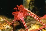 Brittle Star Coral Spawning Witnessed During The Annual Coral Spawning Event at Anse Chastanet